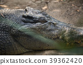 animal, animals, reptile 39362420