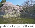 Cherry Blossom Hikone Castle 39367542