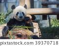 熊猫 竹叶草 动物 39370718