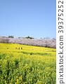 아카기 남쪽 그루 벚꽃 39375252