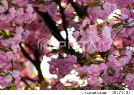 pink blossomed sakura flowers 39375383