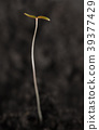 Young tiny tall seedling strive for light 39377429