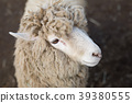 sheep, meadow, ranch 39380555
