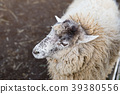 sheep, meadow, ranch 39380556
