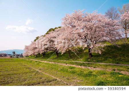 櫻花的風景 39380594