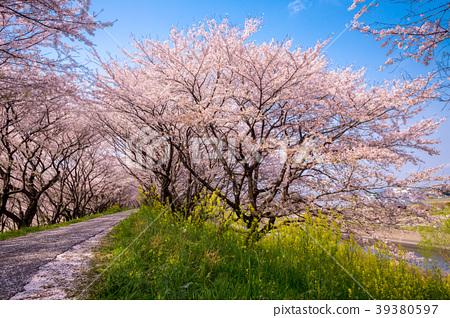 櫻花的風景 39380597