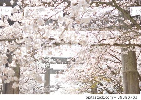 Sakura at the Xiamen gate shrine 39380703