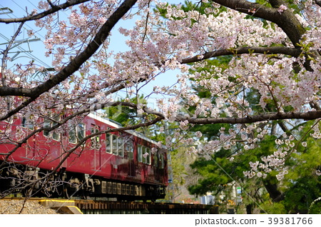 효고현 니시 노미야시 夙川 공원의 벚꽃과 기차 39381766