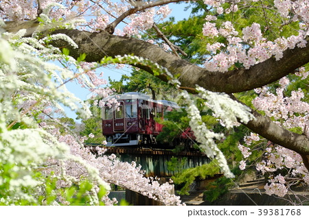 효고현 니시 노미야시 夙川 공원의 벚꽃과 기차 39381768