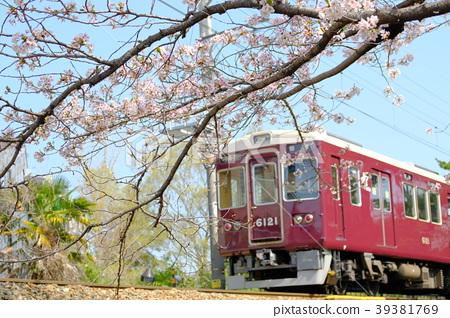 효고현 니시 노미야시 夙川 공원의 벚꽃과 기차 39381769