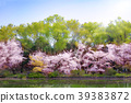 Cherry blossoms and watersides in full bloom 39383872