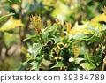 구골나무, 호랑가시나무, 새싹 39384789