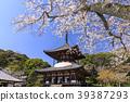 Negori Temple Cherry blossoms 39387293