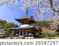 벚나무, 왕벚나무, 봄 39387297