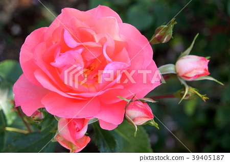Jardin de France(季节性开花) 39405187