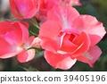 사철 피는 꽃, 사시사철 피는 꽃, 사계절 피는 꽃 39405196