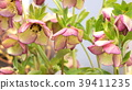 ดอกไม้,ดอกไม้ฤดูหนาว,สวย 39411235