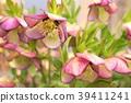 ดอกไม้,ดอกไม้ฤดูหนาว,สวย 39411241