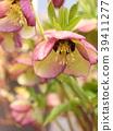 ดอกไม้,ดอกไม้ฤดูหนาว,สวย 39411277