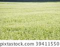 ดอกไม้ป่าบัควีทสีขาวเหมือนพรมขาวแผ่กระจายไปทั่วฤดูใบไม้ร่วงของ Inawashiro 39411550