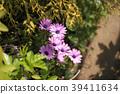 African daisy 39411634