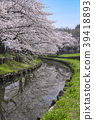 cherry blossom, cherry tree, shingashi river 39418893