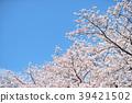 봄의 꽃, 벚꽃과 푸른 하늘 이미지. 복사 공간 있습니다. 39421502