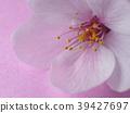 ดอกซากุระบาน,ซากุระบาน,ดอกไม้ 39427697