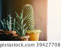 green cactus on table 39427708