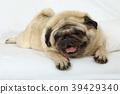 개, 강아지, 들창코 39429340