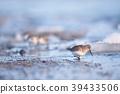 겨울에 만난 도요새 무리 (홋카이도 野付 반도) 39433506