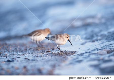 겨울에 만난 도요새 무리 (홋카이도 野付 반도) 39433507