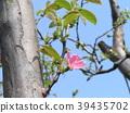 burmese rosewood, bloom, blossom 39435702