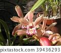 cymbidium, bloom, blossom 39436293