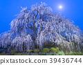 벚꽃, 봄, 수양벚나무 39436744