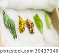 Set of different pupae butterflies  39437349