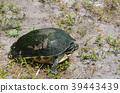 Florida Box Turtle in Largo, Florida 39443439