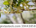 Sakaki flowers 39443858