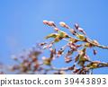 벚꽃의 꽃 봉오리 39443893