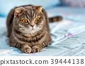 고양이, 영국, 영국풍 39444138