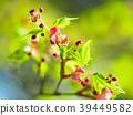 단풍 나무의 새잎과 꽃 39449582