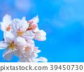 왕 벚나무의 꽃잎 39450730