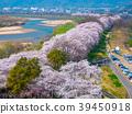 Yawata的後堤的櫻花 39450918