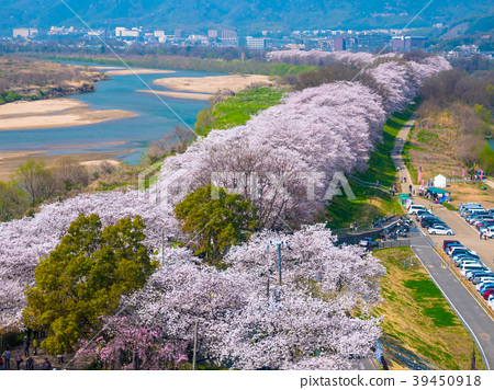 Yawata的后堤的樱花 39450918