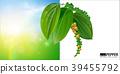 black pepper leaves green on green background. 39455792