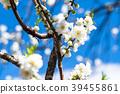 桃花 花朵 花 39455861