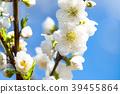 桃花 花朵 花 39455864