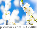桃花 花朵 花 39455880
