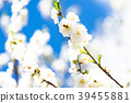 桃花 花朵 花 39455881