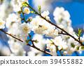 桃花 花朵 花 39455882